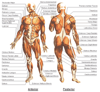 how to learn anatomy and physiology fast