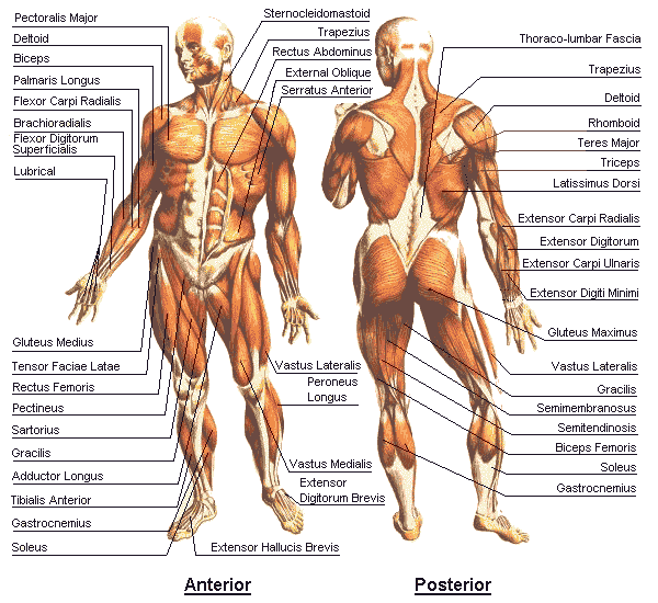 human anatomy and physiology - android apps on google play, Human Body
