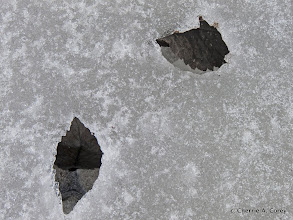 Photo: Solar leaf impressions
