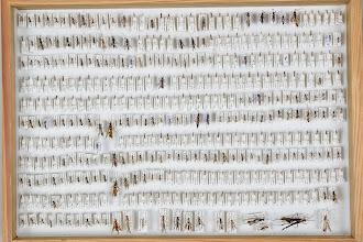 Photo: ZSM-HD-0001160 Various Ichneumonidae indet.