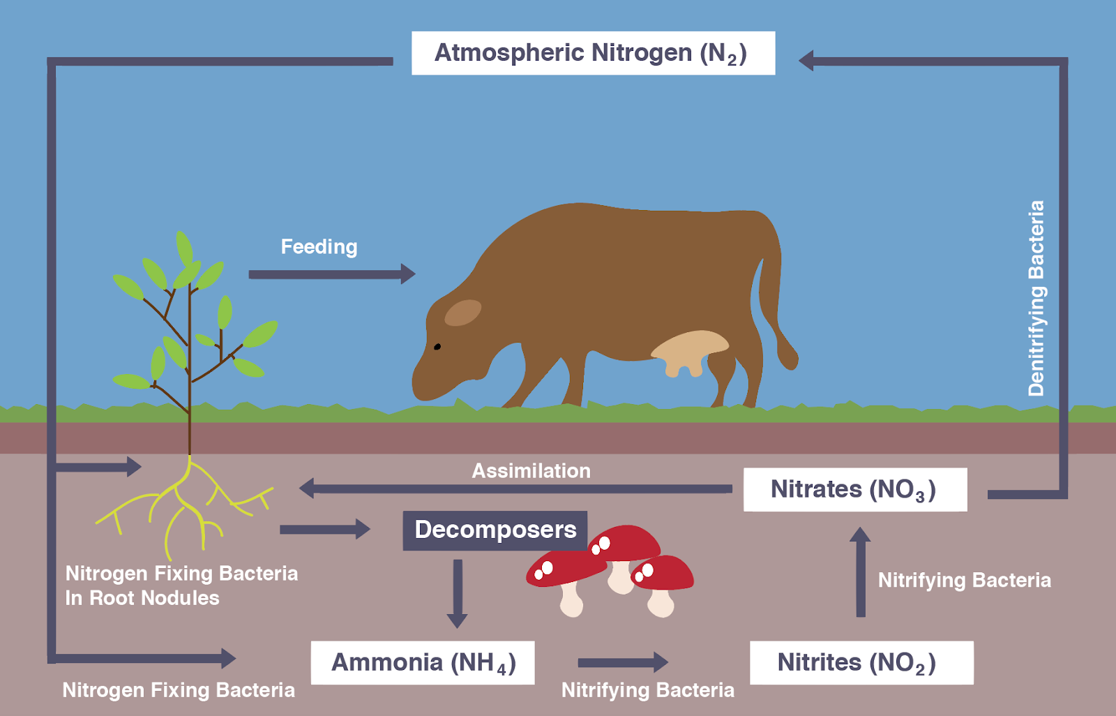 igcse biology notes 4 10 describe the stages in the nitrogen cycle Nitrogen Fixing Bacteria diagram showing the nitrogen cycle