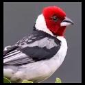 Brazilian's birds sounds icon