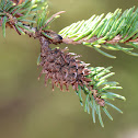 Eastern Spruce Gall Adelgid