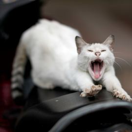 easy rider by Annette Flottwell - Animals - Cats Playing ( saddle, tomcat, gato, chat, kuching, cat, mao, matou, stretching, bike )
