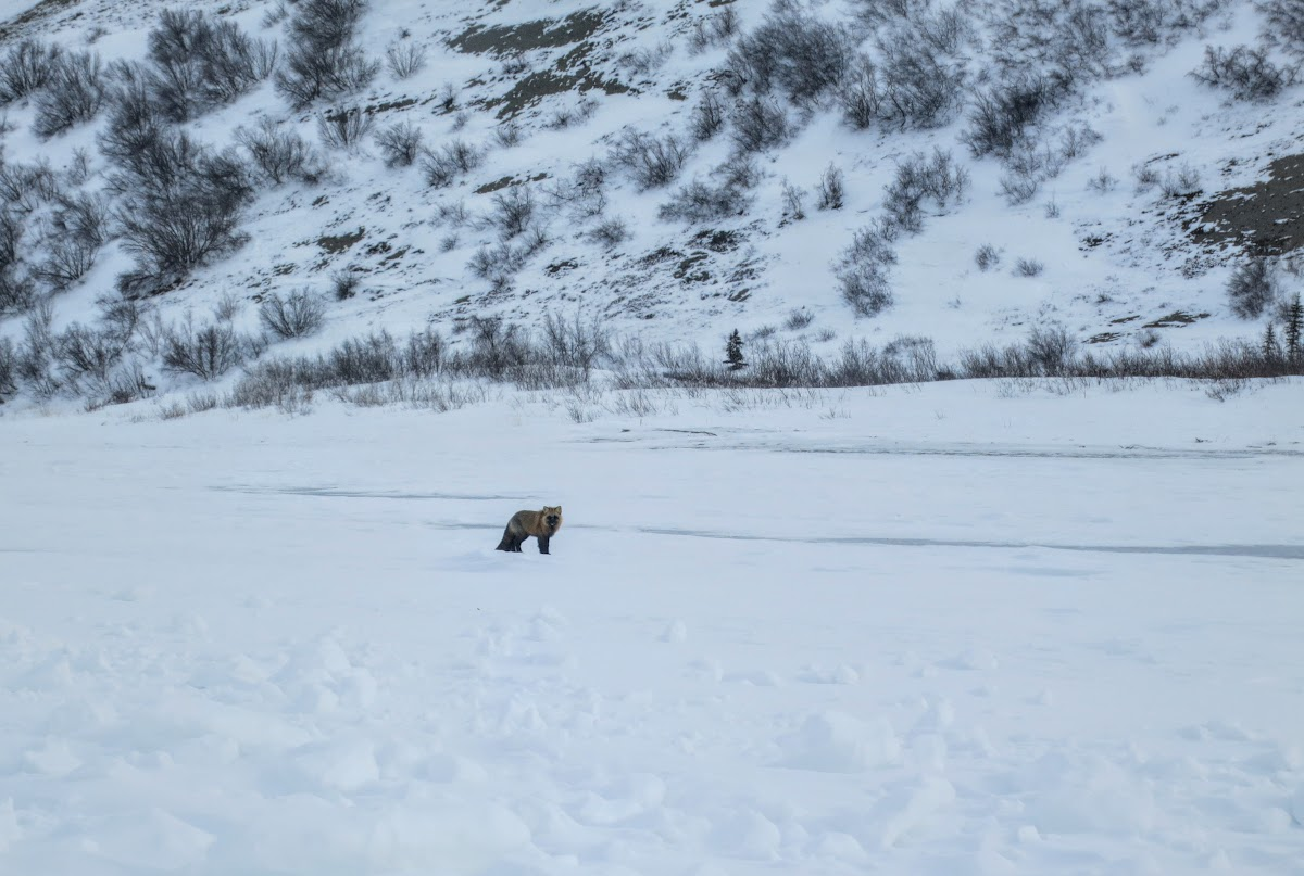 A wild Cross Fox on the Mackenzie River snowbanks