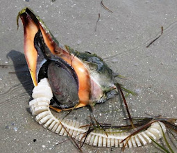 Photo: Whelk with egg case - Photo by RCR volunteer Capt. Paul Dunn.