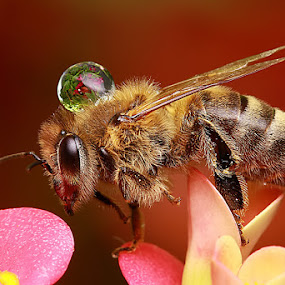 Drop on Bee by Agus  Sudarmanto - Animals Other