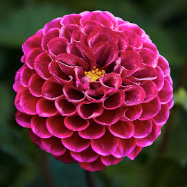 Dahlia 8679 by Raphael RaCcoon - Flowers Single Flower