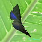 Blue-winged Eurybia