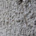 White Lichen