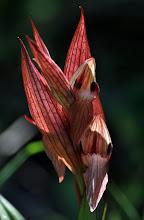Photo: Serapias orientalis, Orchidaceae