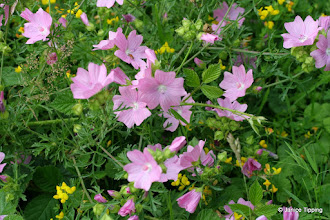 Photo: The Musk Mallow were extra special this year (2011)