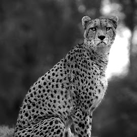 Guépard du Soudan by Gérard CHATENET - Black & White Animals