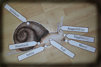 Photo: Legematerial zum Körperbau der Schnecke -> SU-Natur/Schnecke