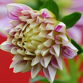 Dahlia Bud by Millieanne T - Flowers Flower Buds