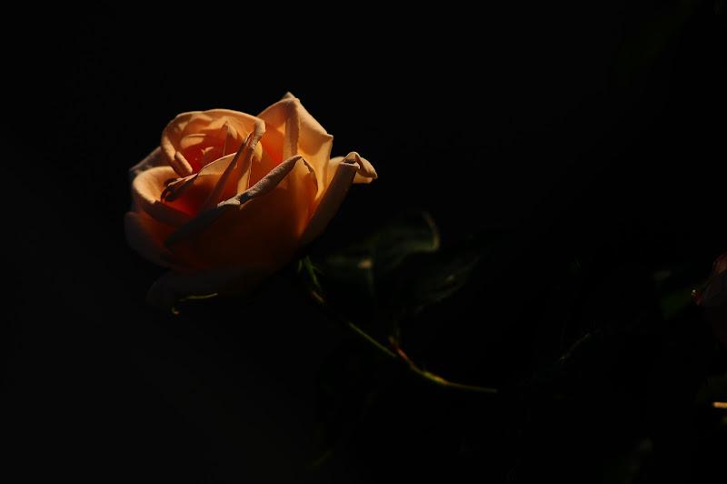 La rosa della speranza  di canalaz_shots