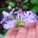 Wideflower Phlox