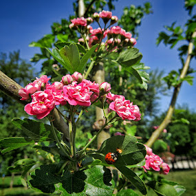 red hawthorn by Dunja Kolar - Flowers Tree Blossoms ( red hawthorn, croatia, bundek, zagreb )