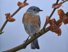 Photo: Wet Western Blubird - G. Smith