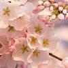 الزهور لعبة اللغز APK