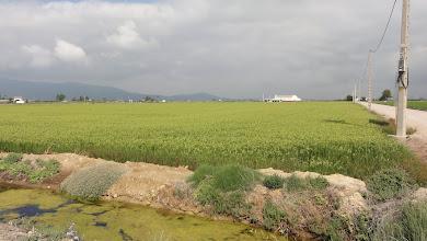 Photo: Rice field, Deltebre