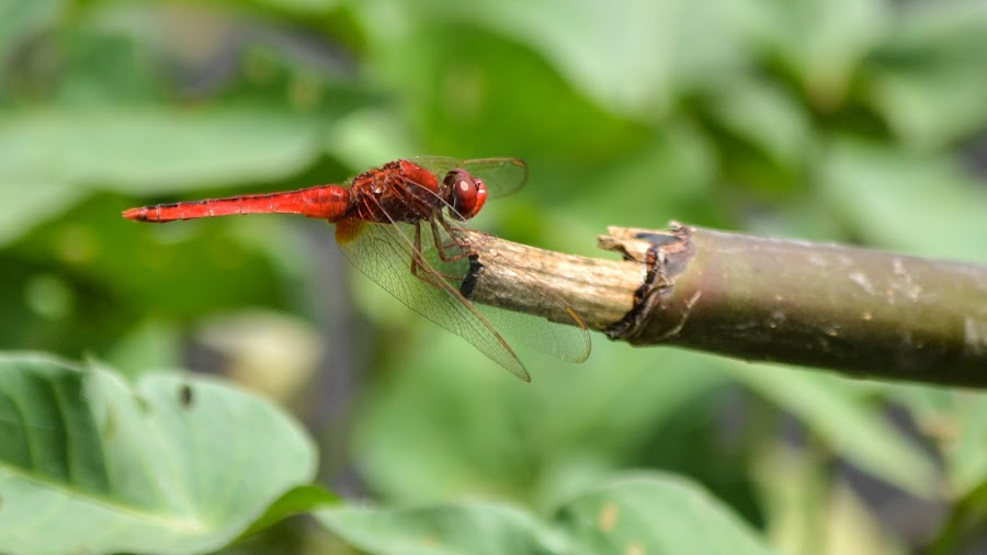Dragonfly by Deven Dadbhawala - Animals Insects & Spiders (  )