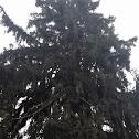 White Eastern Pine