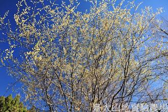 Photo: 拍攝地點: 梅峰-一平臺水杉林旁 拍攝植物: 山胡椒 拍攝日期:2012_03_05_Yah