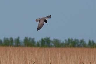 Photo: A Black Tern for #FlybyFriday curated by +Meg Rousher