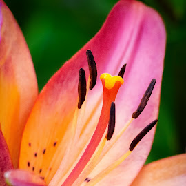 Lily by Dave Lipchen - Flowers Single Flower ( lily )