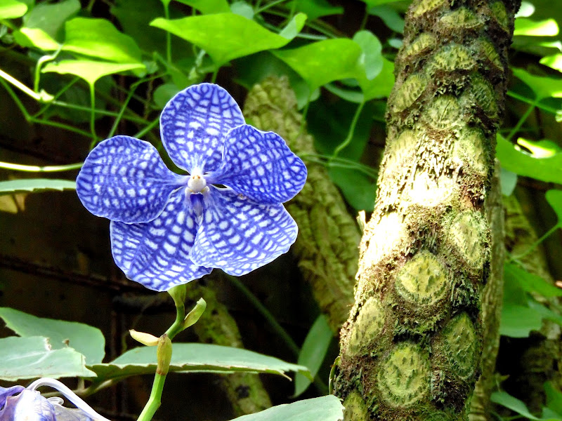 Orchidea di supergigi