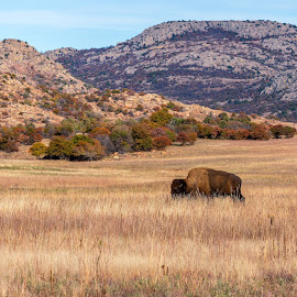 Bison by Doug Long - Animals Other Mammals ( usa, icon, united states, american, northwest territories, ungulate, beautiful, grasslands, mammal, native, north america, one animal, plains, national, oklahoma, wild animal, herd, wildlife, american buffalo, wichita mountains wildlife refuge, american bison, natural, nature, old, buffalo, buffalos, refuge, tree, brown, herbivore, grassland, hoofed, wilderness, animal, western, north american, bison, bull, horns, wild, landscape, male )