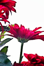 """Photo: """"The aim of life is to live, and to live means to be aware. Joyously, drunkenly, serenely, divinely aware"""" ~ Henry Miller   http://www.redbubble.com/people/inspiraimage/works/21788701-red-chrysanthemum-flowers   +Whatever Wednesday!!! curated by +Cicely Robin Laing #whateverwednesday  +//flower colors// curated by +angelic labru #flowercolors  +AllThingsRed curated by +Liz C #AllThingsRed  +EVERYDAY THINGS curated by +luca lancieri +Boba Musura #everydaythings  +Everything Red curated by +Carra Riley +Donna St. Pierre #EverythingRed  +FLOWER POWER curated by +Edith Kukla #flowerpower  +HQSP Flowers curated by +Anja Wessels +kaatje jansen +Wayne Lu +Iva Pas +Francine Vanlé #hqspflowers  +NATURE & MACRO Photos curated by +Robert SKREINER +Roswitha Böhmer #naturephotos  #PhotoManiaUK +Photo Mania UK curated by +Hans-Juergen Werner and +Chandro Ji #flowers  #flowerphotography  #chrysanthemum  #red"""