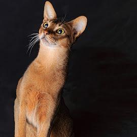 ruddy Abyssinian by Rita Bruche - Animals - Cats Portraits ( pedigree, cat, brown, tawny, abyssinian, ruddy,  )