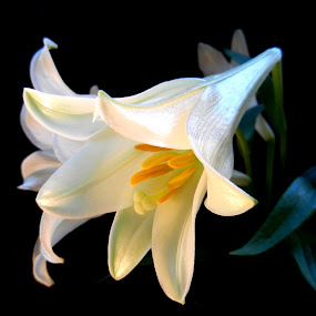 Lovely Lillies by Kathy Rose Willis - Flowers Single Flower ( easter, white, yellow, lilly, black,  )
