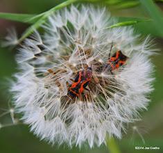 Photo: Milkweed bugs on dandelion
