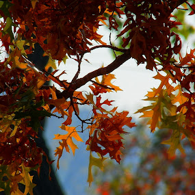 Fall Leaves by Christy Leigh - Nature Up Close Trees & Bushes ( orange, fall leaves, tree, blue, fall, trees, leaf, leaves )