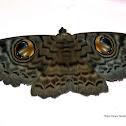 Erebus macrops - Moth