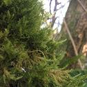 Alsia californica