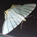 Opisthoxia Moth / Mariposa-Opisthoxia