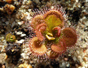 "Photo: Drosera whittakeri ssp. aberrans ""Maldon"""