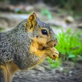 Fox Squirrel by Andrew Lawlor - Animals Other Mammals (  )
