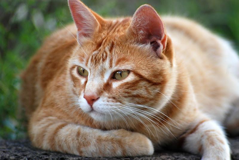 Gatto in posa di caccia di MORENO ANTOGNOLI