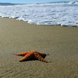 A single starfish on the beach  by LaDonna McCray - Animals Sea Creatures ( single, sand, beach, animal, starfish, lonely, five, sea )