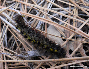 Photo: Moth caterpillar.