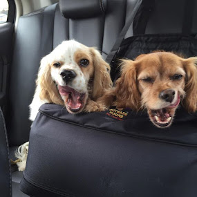 On the way to the vets ...dueling yawns by Theresa Murray - Animals - Dogs Playing