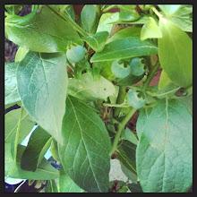 Photo: blueberrys summer 2014