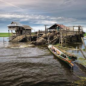 Kerbau Rawa by Irwan Kairuman - Landscapes Travel ( travel, kalimantan, kerbau rawa )