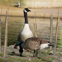 Atlantic Canada Goose