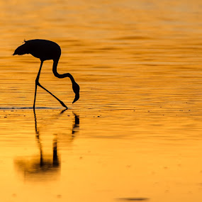 Golden Pond by Hilton Kotze - Animals Birds ( walking, waterbird, nature, serengeti, [grootflamink], feeding, {phoenicopterus roseus}, lake, flamingos, greater flamingo, birds, golden )